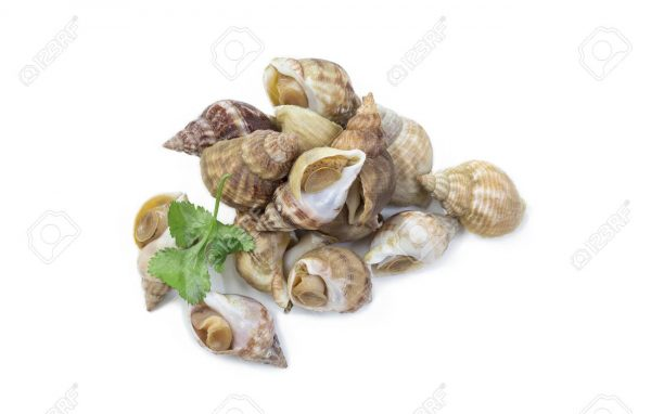 Uncooked fresh common whelks or sea snails isolated on white