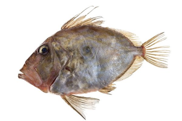 San Pierre Fish in front of white background Zeus Faber John Dory